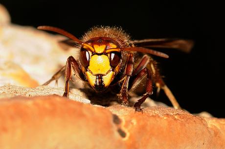 oog in oog met een hoornaar