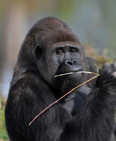 Gorilla SBB
