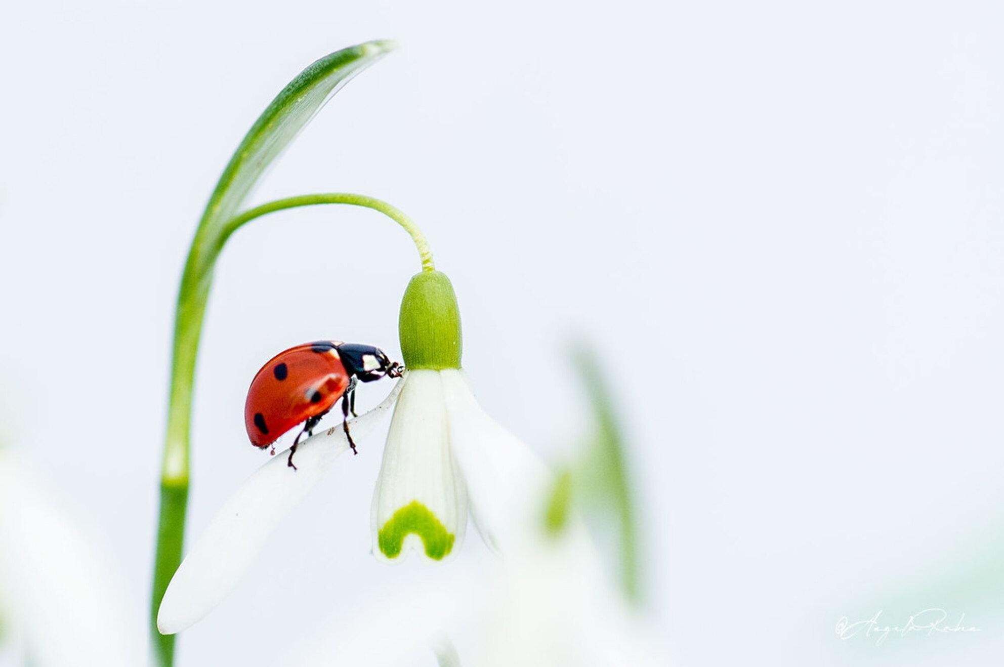 In balance - Lentekriebels - foto door angelartpics op 24-02-2021 - deze foto bevat: lente, natuur, lieveheersbeestje, licht, tuin, voorjaar, sneeuwklokje - Deze foto mag gebruikt worden in een Zoom.nl publicatie
