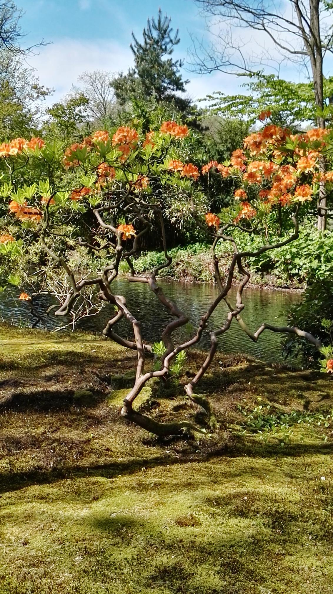 Japanse Tuin - Alles in bloei in de Japanse Tuin  Wassenaar. - foto door BertineVrijland op 30-04-2017 - deze foto bevat: bloem, tuin
