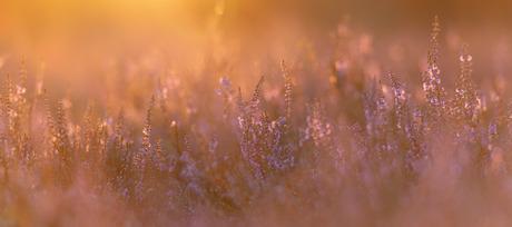 paars in het laatste licht