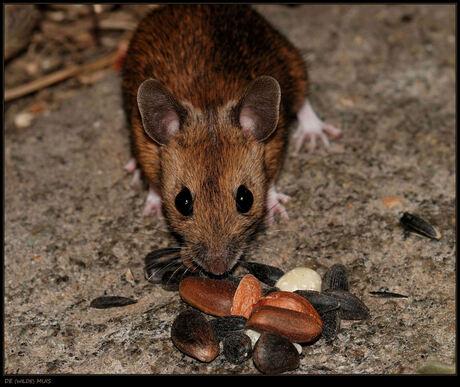 Gelokt met eekhoorntjesvoer........