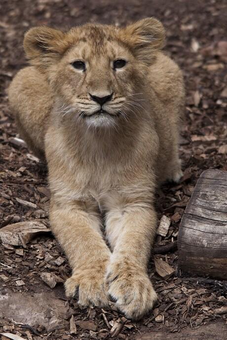 Leeuwen welpje in Blijdorp
