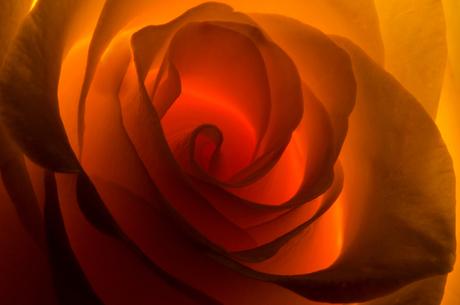 roosje, belicht vanachter