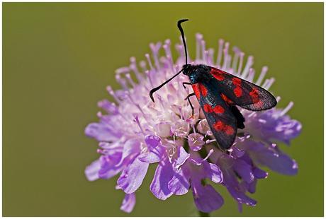 St. Jans vlinder 2.......