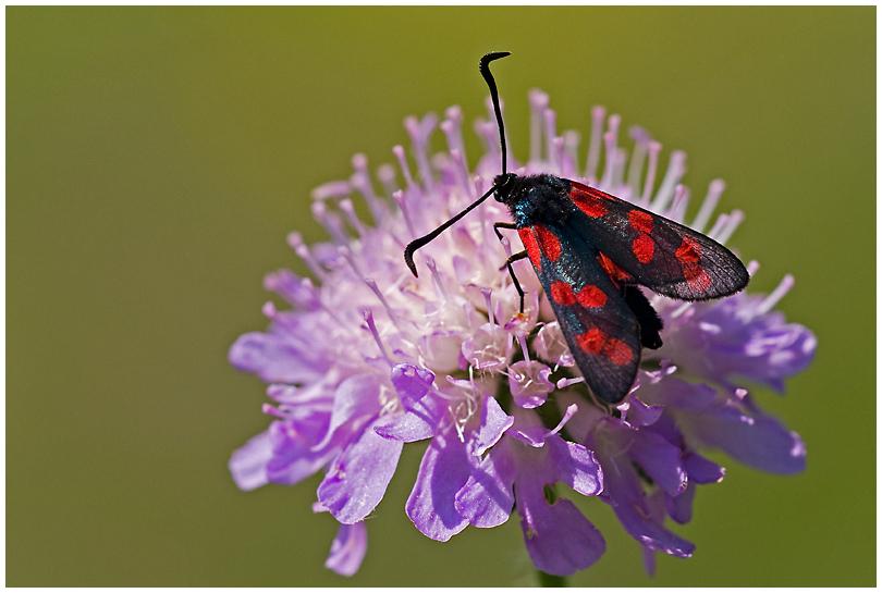 St. Jans vlinder 2....... - Vanaf de St. Pietersberg in Maastricht. - foto door RogerteWierike op 27-01-2012 - deze foto bevat: kleuren, macro, abstract, vlinder, insect, zonnig, opwarmen, St. Jansvlinder