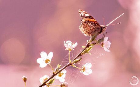 Lente-Bloesem-Vlinder