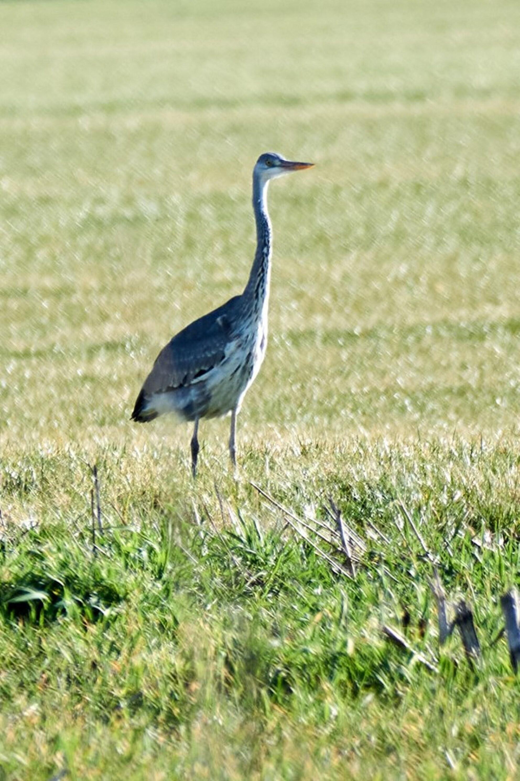 Jonge Blauwe Reiger - in de buurt bij Eerbeek - foto door TonVeldhuizen op 05-03-2021 - deze foto bevat: natuur, vogel, reiger - Deze foto mag gebruikt worden in een Zoom.nl publicatie