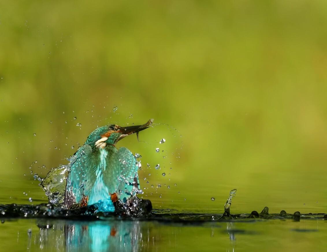 IJsvogel 2 - Als een dobber schiet het ijsvogeltje met visje door de opwaartse kracht weer omhoog, half uit het water en vlak daarna zakt het weer terug in het wa - foto door geld1846 op 18-11-2019