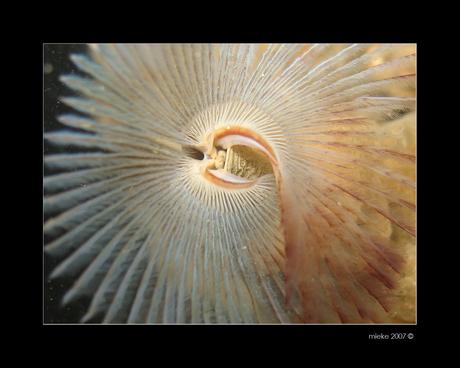 Kokerworm