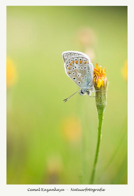 Blauwtje - Icarusblauwtje.. - foto door CemalKazankaya op 04-11-2017 - deze foto bevat: groen, macro, wit, blauw, bloem, lente, juffer, natuur, vlinder, bruin, blauwtje, icarusblauwtje, geel, oranje, zomer, insect, dof, bokeh, cemal kazankaya