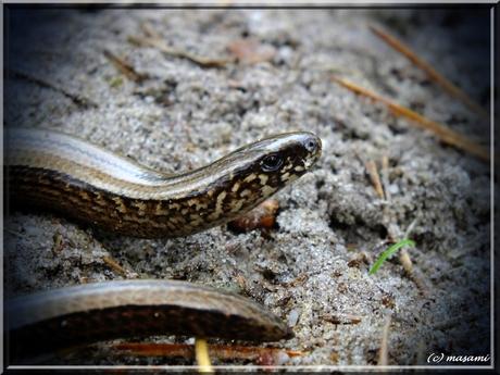 Veluwse Boa constrictor