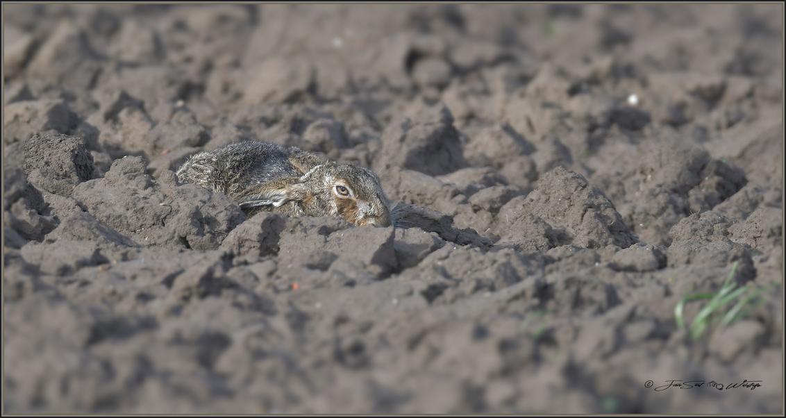 schutkleur - Zeker in een pas geploegde akker vallen Hazen bijna niet op vanwege hun schutkleur. Zeker op afstand valt deze haas pas op, als hij in beweging komt. - foto door JanSint op 06-03-2019 - deze foto bevat: natuur, dieren, haas, wildlife, rammelaar, moerhaas