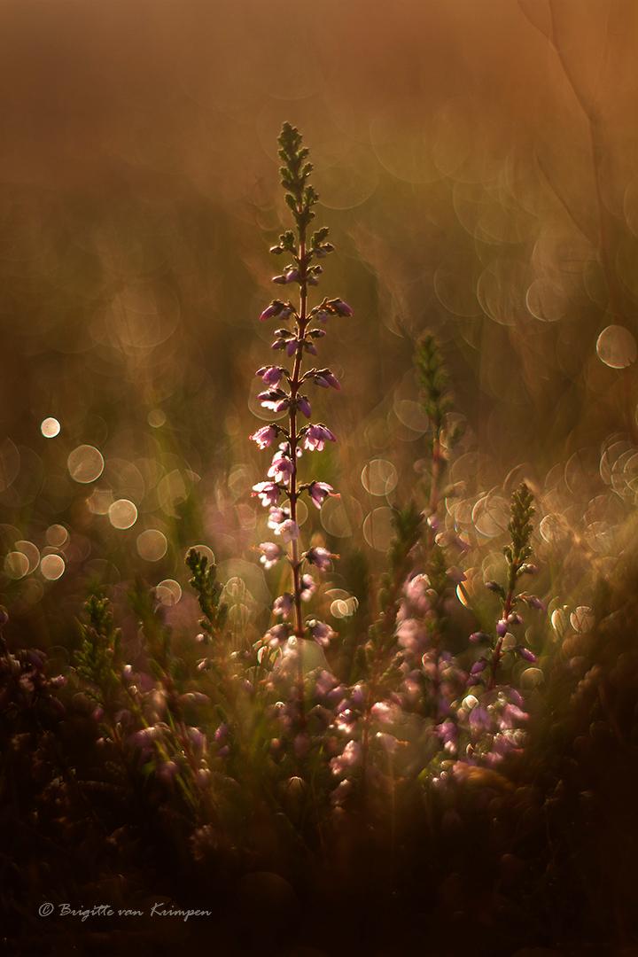Heather Feast - Heide vlak na zonsopkomst, altijd een feestje - foto door Puck101259 op 02-09-2020 - deze foto bevat: bloem, natuur, bruin, druppel, licht, herfst, heide, tegenlicht, vintage, hei, sfeer, dauw, dof, moody, mood, bokeh, brigitte, meyer, oreston