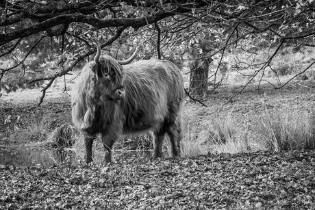 Highland cow op de Veluwe