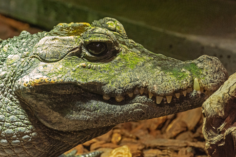 Kleine krokodil
