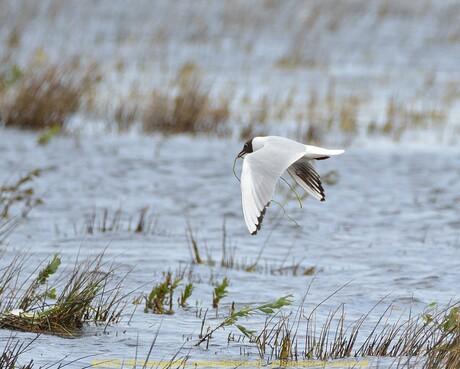 Kokmeeuw bouwt nest in Natuurgebied Dannenmeer