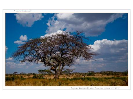 Lion in tree Serengeti