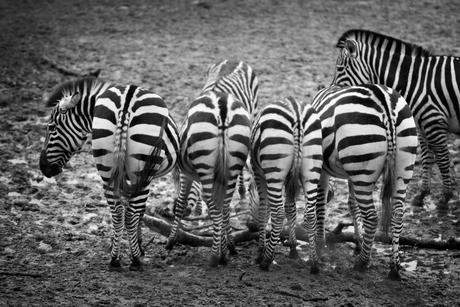 Zebrapad
