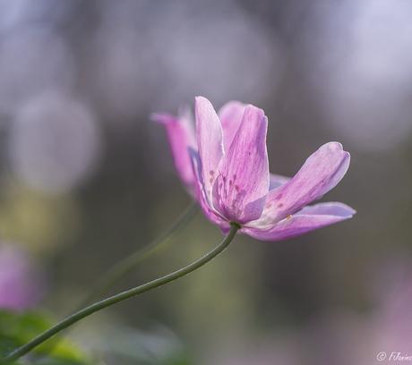 Vandaag een roze................Bosanemoon