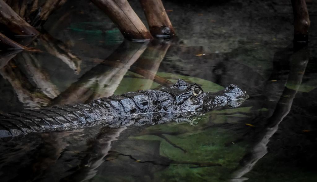 Krokodil - Tot nu toe nog nooit een foto van een krokodil kunnen maken die ik zelf leuk genoeg vond om naar te kijken maar voor mijn gevoel klopt hier alles wel - foto door PhotoMad op 03-03-2019 - deze foto bevat: krokodil, reptiel, hoenderdaell