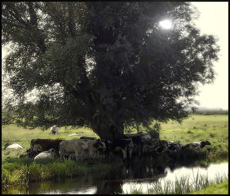 koeien en de hitte