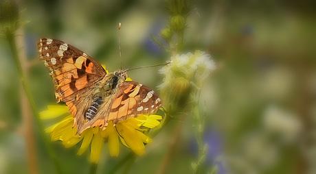 Vlinder-bermleven