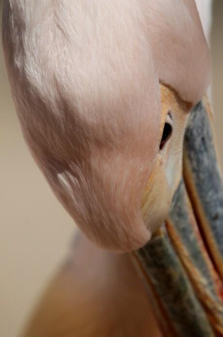 verlegen pelikaan