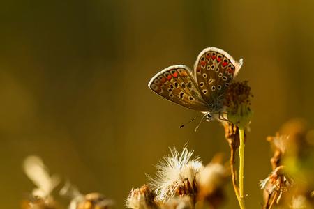 blauwtje in tegenlicht - Hetzelfde vlindertje als in de vorige upload, deze bleef lang genoeg zitten om er rustig omheen te kunnen lopen. Met deze was ik eigenlijk begonnen,  - foto door ronab op 30-08-2012 - deze foto bevat: macro, vlinder, tegenlicht, ronab, Icarus blauwtje, appelzak