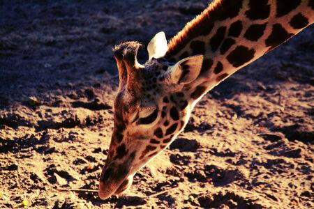 Look like a giraffe - . - foto door FotoAnnemiek op 16-11-2013 - deze foto bevat: dierentuin, giraf