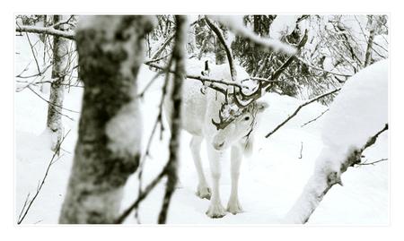 find the reindeer - Het hard zo hard gesneeuwd in Lapland, alle was bedekt met een flinke stapel verse poedersneeuw. En dan moet je ineens goed kijken om alle rendieren  - foto door edojan op 19-01-2012 - deze foto bevat: wit, sneeuw, winter, finland, rendier, verborgen, camouflage, lapland, reindeer