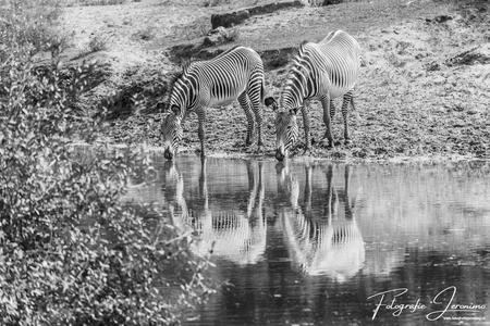 """Zebra's in spiegelbeeld - Voor de fotowedstrijd """"Reflecties"""" heb ik gekozen voor deze zwart-wit foto. Eerlijk gezegd had ik de stuik er liever niet op gehad en de foto dan in  - foto door FotografieJeronimo op 18-09-2020 - deze foto bevat: water, zebra, dieren, safari, reflectie, zwartwit, wildlife, fotografie, Jeronimo"""