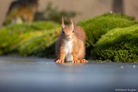 Eekhoorn, rode eekhoorn of gewone eekhoorn (Sciurus vulgaris)