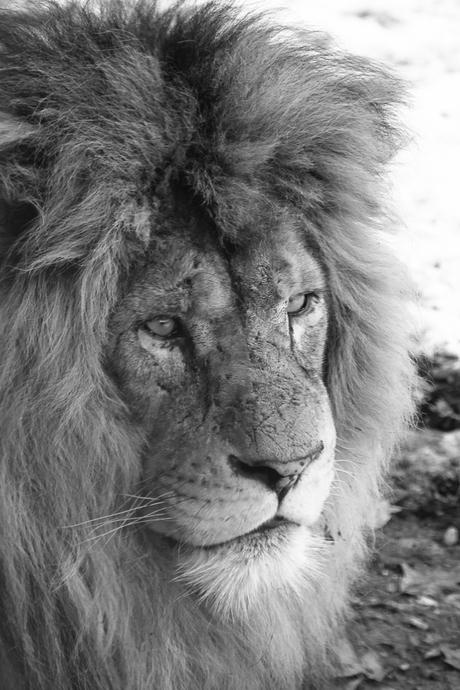 Leeuw in Burgers' Zoo