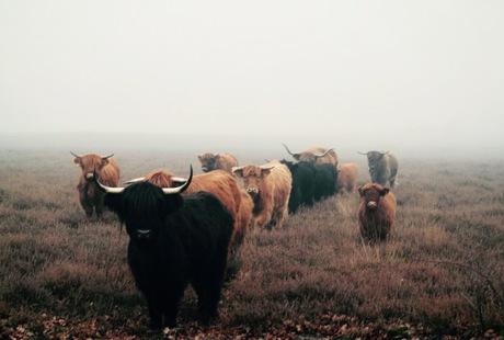 Hooglanders in de mist