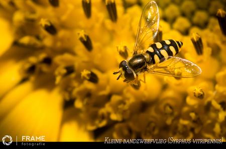 Zweefvliegje - Heerlijk met mijn macro lens door de tuin struinen op zoek naar dit soort plaatjes - foto door framefotografie op 25-07-2020 - deze foto bevat: macro, bloem, zonnebloem, natuur, bij, bruin, zweefvlieg, geel, oranje, tuin, zomer, insect, bokeh