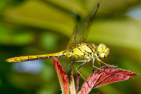 Gele Libelle