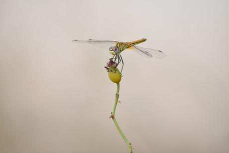 Libelle rustend op rozenbottel