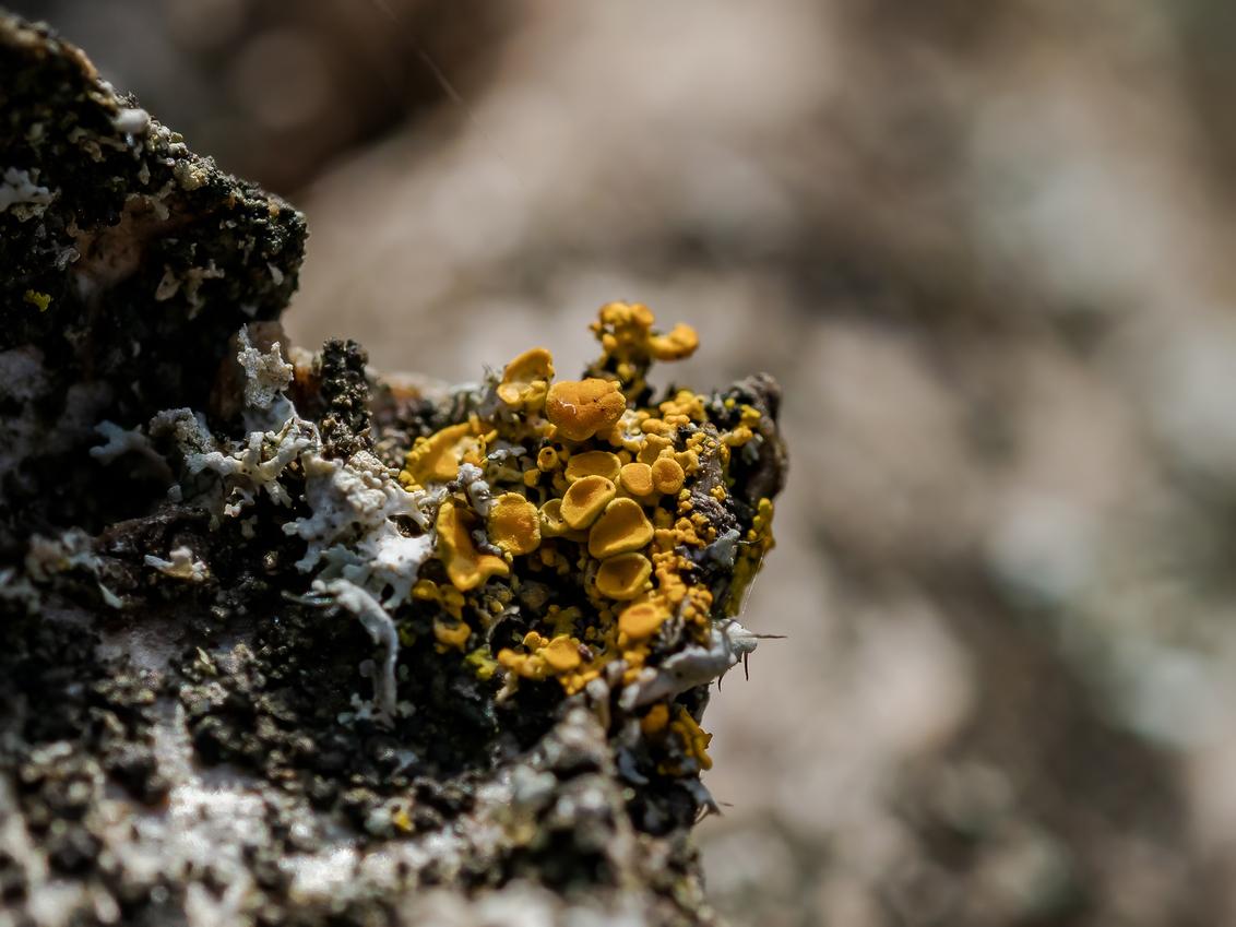 Korstmos - - - foto door Croco op 26-02-2021 - deze foto bevat: macro, lente, natuur, geel, paddestoel, dof, bokeh
