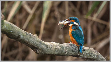 Ijsvogel met visvangst