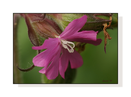 Dagkoekoeksbloem