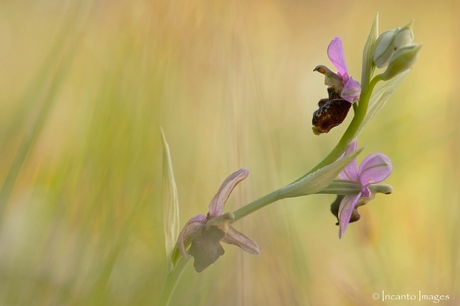 Orchis uit Viroinval