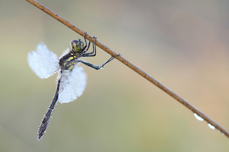 Hanging Around - De eerste libel die ik deze mooie ochtend kon fotograferen was deze zwarte heidelibel. - foto door Paul1973_zoom op 04-08-2016 - deze foto bevat: macro, natuur, licht, libel, zomer, dauw