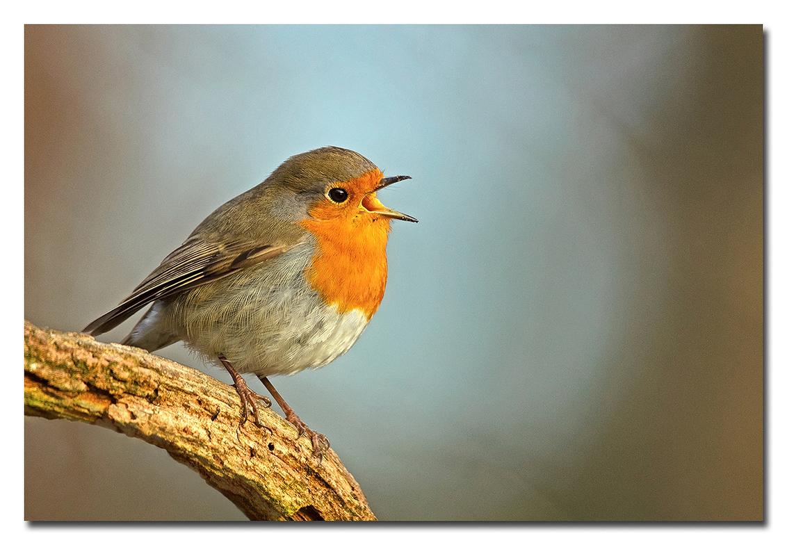 In The Spotlight - door de Bokeh lijkt het of dit Robinnetje in de Spotlight is!  Effies in het groot bekijken!  Heel erg bedankt voor de fijne reacties bij de vori - foto door Anna Rass op 04-04-2021 - deze foto bevat: natuur, vogel, wildlife