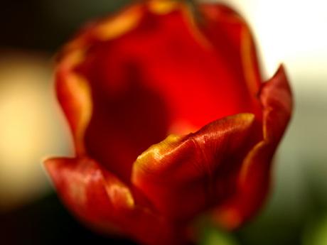 Fuzzy Tulip