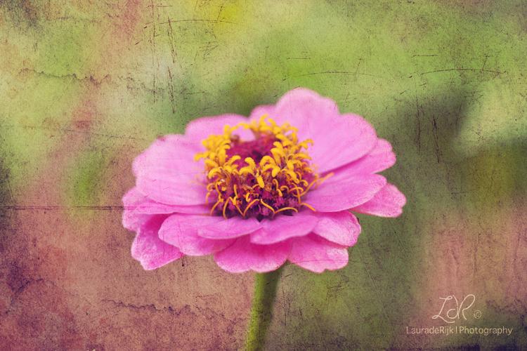 Pink & Yellow - Bloemetje met een textuur in photoshop. - foto door lauraderijk op 29-08-2011 - deze foto bevat: roze, bloem, geel, photoshop, textuur, texture, lauraderijk