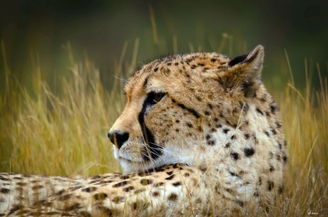 Cheetah2./Beekse Bergen .4