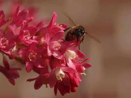 Ribes en honingbij? - Honingbij (dacht ik) op Ribes. Natuur dicht bij huis - foto door Duckie_zoom op 10-04-2011 - deze foto bevat: natuur, bij, ribes, voorjaar, aarde, honingbij