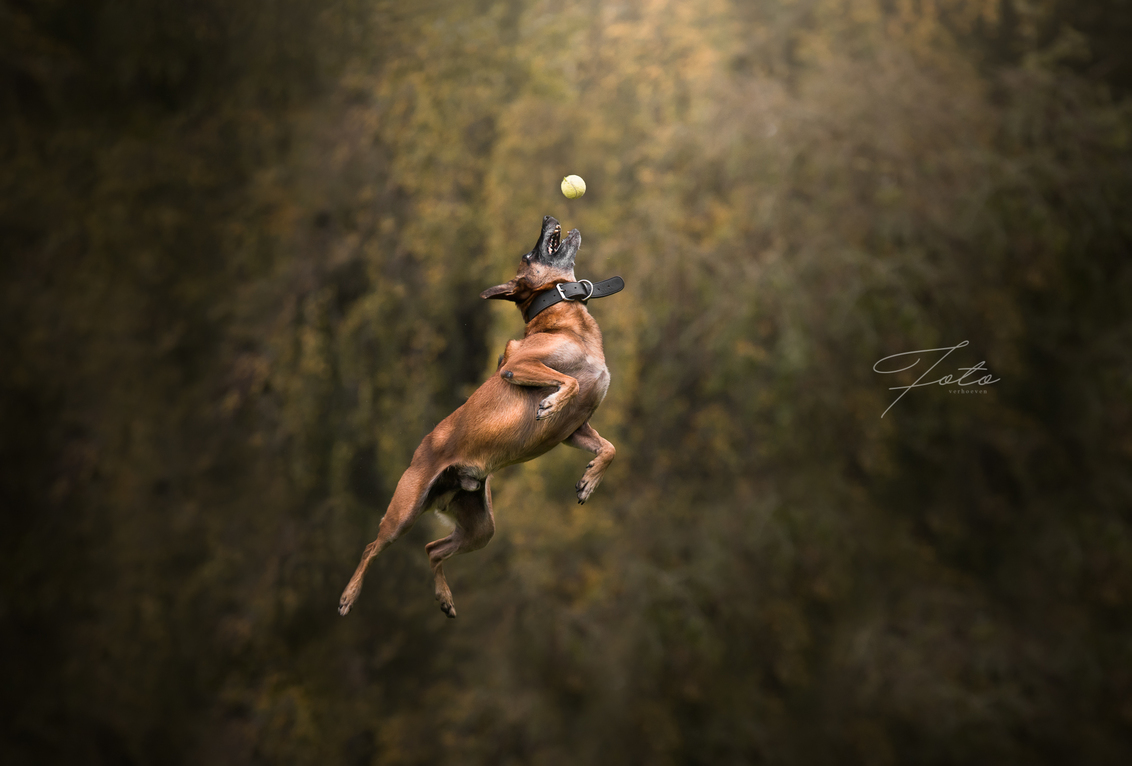 De sprong - Herdershond Kane vangt een bal - foto door HannahV op 23-10-2017 - deze foto bevat: bos, hond, bomen, herder, bal, sprong