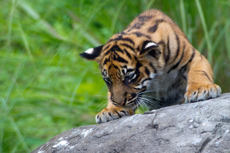 Jonge tijger